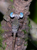 Lestidae