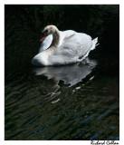 Swan at St. Johns Manor