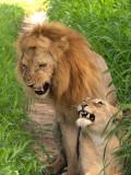 lions_in_tanzania