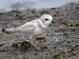 Piping plover (juvenile hatched at manistee michigan  2011)