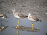 Greater Yellowlegs (adult left with juvenile )