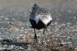 Black-bellied Plover (breeding)