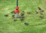 Chiefly sparrows