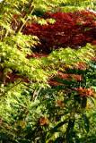 Acers in my garden