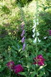 Foxgloves and peonies