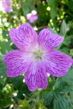 And another geranium