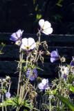 Geraniums again!