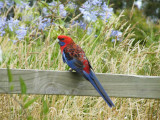 Crimson rosella at Arthur's Seat