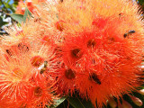 Red-flowering gum, Royal Botanic Gardens, Melbourne