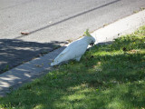 Sulphur-crested cockatoo on nature strip, Lower Templestowe