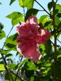 Hibiscus - Lower Templestowe, Melbourne