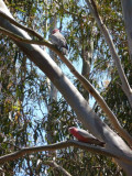 More galahs at Birrarrung Park, Lower Templestowe