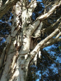 Gum tree in LowerTemplestowe, Melbourne