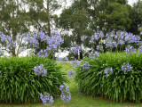 Agapanthus with gum trees at Shoreham, Mornington Peninsula