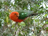 Australian king parrot at Grants, Kallista