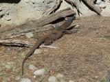 Goanna at Healesville Sanctuary