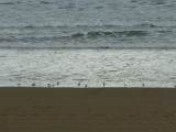 Oystercatchers foraging