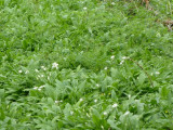 Ramsons and cleavers intermingling