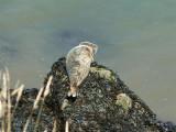 Basking grey seal below the inner head