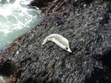 Another grey seal basking