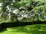 Cedar of Lebanon in the Old Garden
