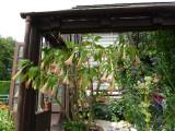 Abutilon in the Plant House