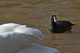 LYSKA - Fulica atra- the Coot and the swan.