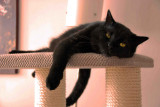 D. GIERDAL- ARCHIBALD Scottish straight cat