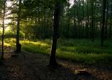 Summer forest     ,near Horyniec