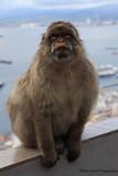 Barbary Apes