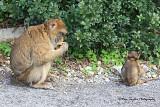 Barbar Apes