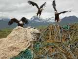 Net-tending eagles