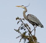 Herons, Egrets and Ibises