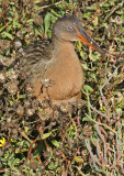 The nictitating membrane of this Clapper Rail is clearly visible*