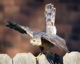 Hawk_2