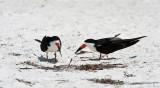 Black Skimmers (pair)