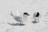 Pair of Sandwich Terns