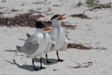 Pair of Royal Terns