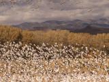 More Snow Geese Blast-off.jpg