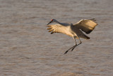 Sandhill Crane Landing in Pond.jpg