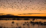 Snow Geese at Sunrise.jpg