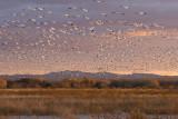 Snow Geese at Sunset.jpg