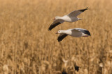 Snow Geese over Corn Field.jpg