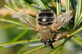 Tachina ursina, Bjørnesnylteflue 2