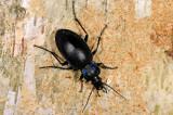 Violet ground beetle, Carabus violaceus, Violetrandet løber 2