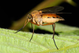 Marsh Snipe Fly, Rhagio tringarius 1