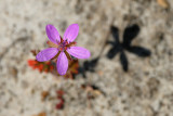 Redstem Storksbill, Erodium cicutarium, Hejrenæb 1