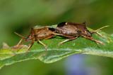 Spiked Shield Bug, Picromerus bidens, Torntæge 1