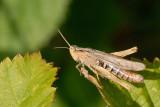 Grasshopper, Græshoppe 1