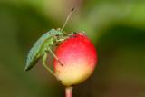 Green Shieldbug, Palomena prasina, Grøn bredtæge 1